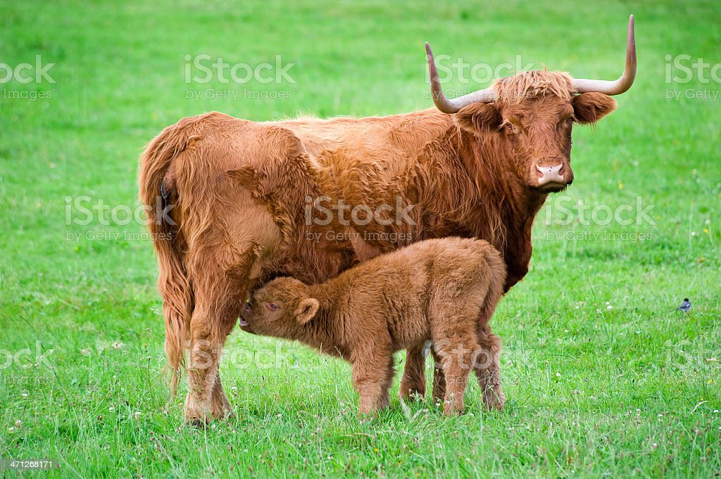 Highland cattle - mother and drinking calf stock photo