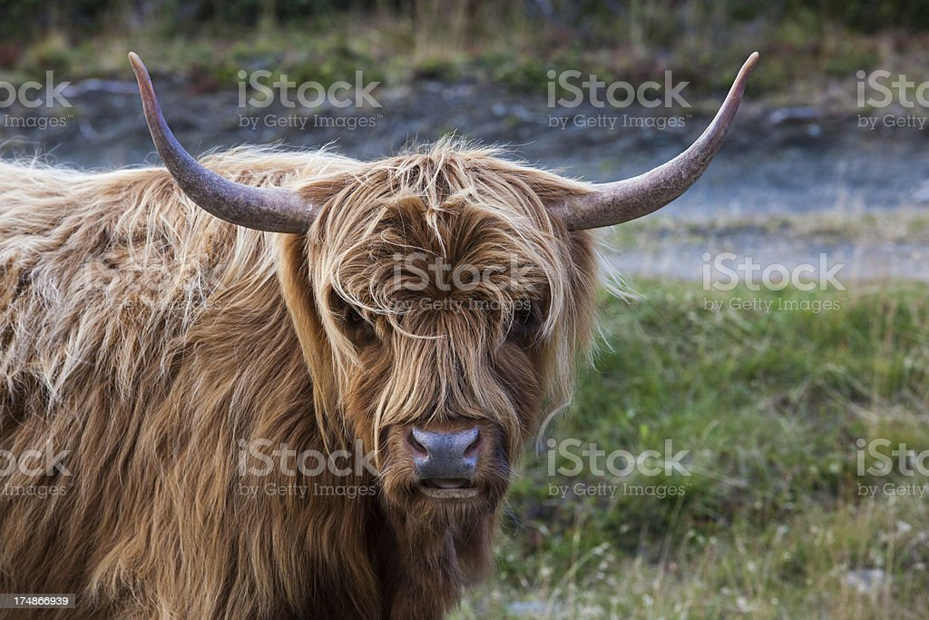 Highland cattle royalty-free stock photo