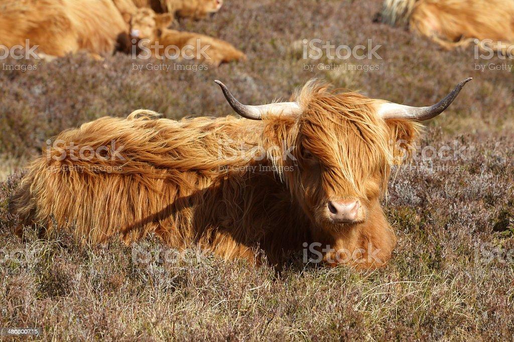 Highland Cattle, Scotland, UK royalty-free stock photo