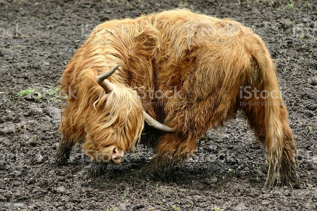 Highland cattle with long horns and long wavy coat royalty-free stock photo