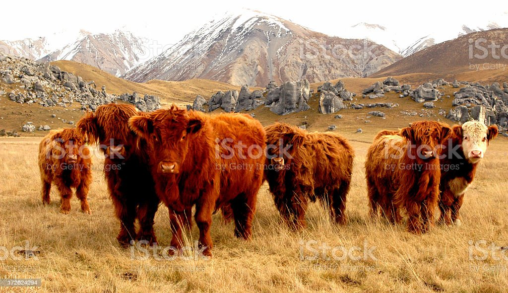 highland cattle3 royalty-free stock photo