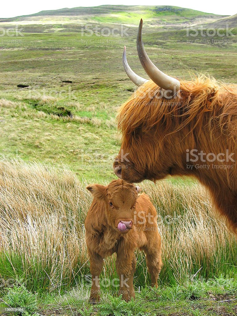 Highland cow and calf stock photo