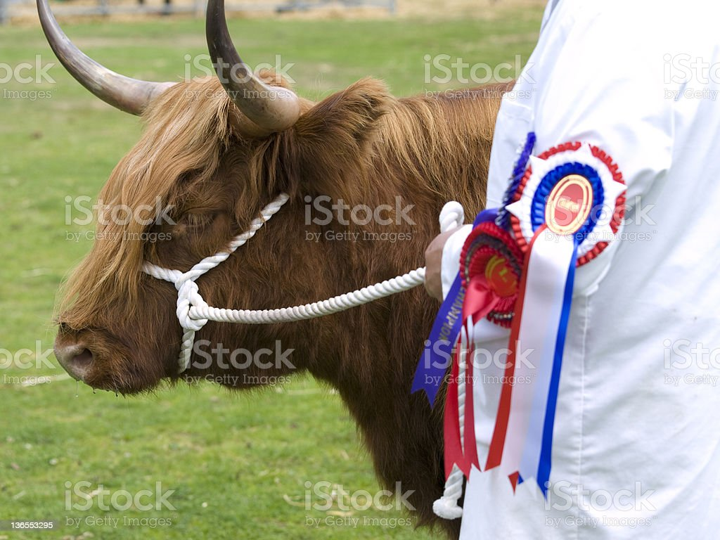 Highland Cow at an Agricultural Show royalty-free stock photo