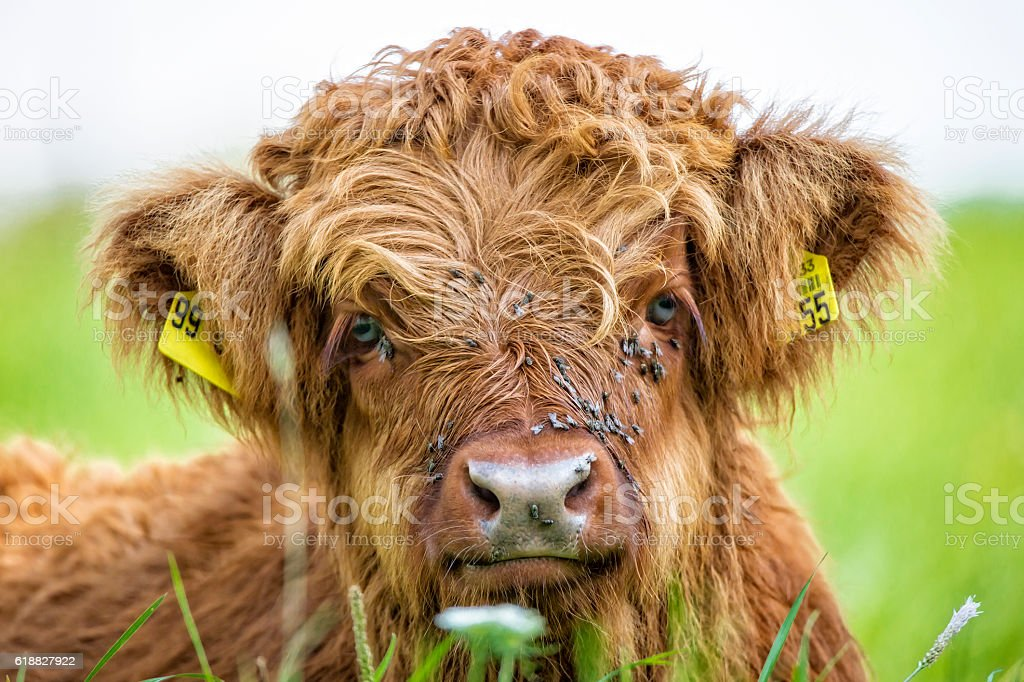 Highland cow calw lying in grass stock photo