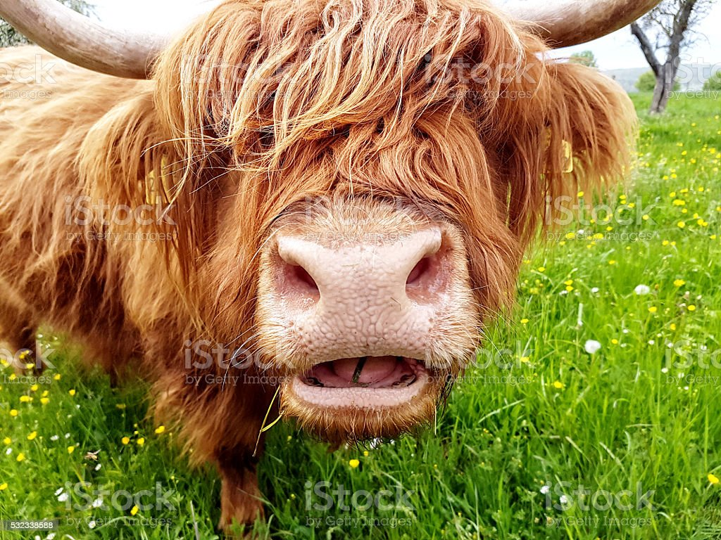 Highland cow chewing grass stock photo