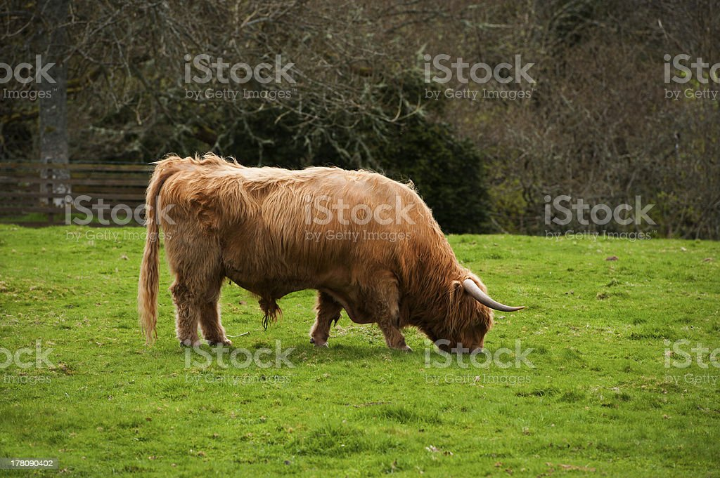 Highland cow grazing royalty-free stock photo