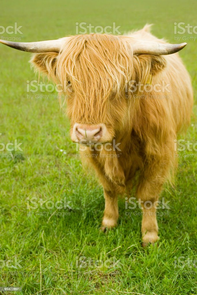Highland cow in a field royalty-free stock photo
