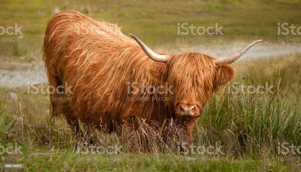 Highland Cow in the Scottish Highlands royalty-free stock photo