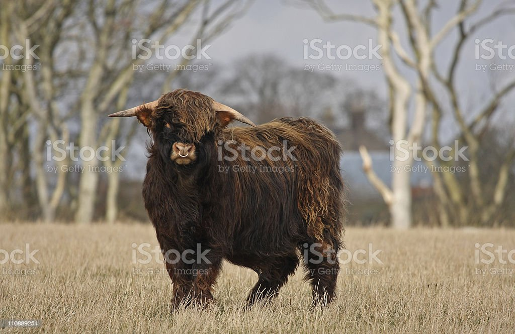 Highland Cow (Bull) royalty-free stock photo