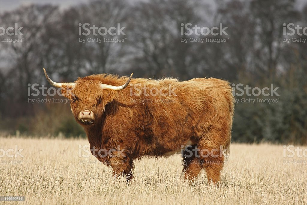 Highland Cow royalty-free stock photo