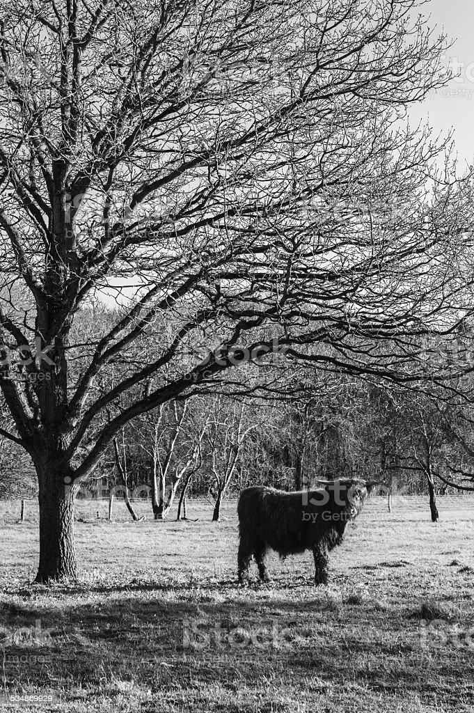 Highland Cow stock photo