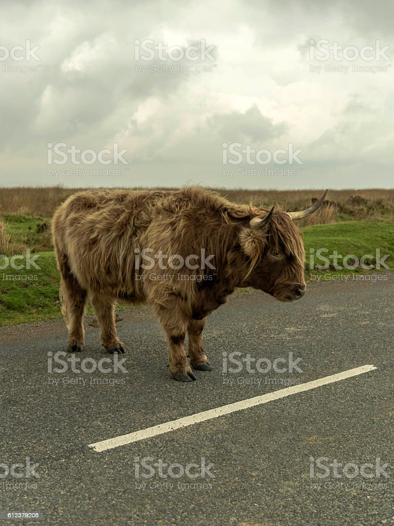 Highland Cow standing by white line on Dartmoor National Park stock photo