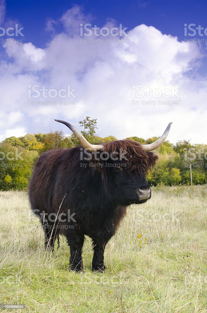 Highland cow standing in a field with blue sky royalty-free stock photo