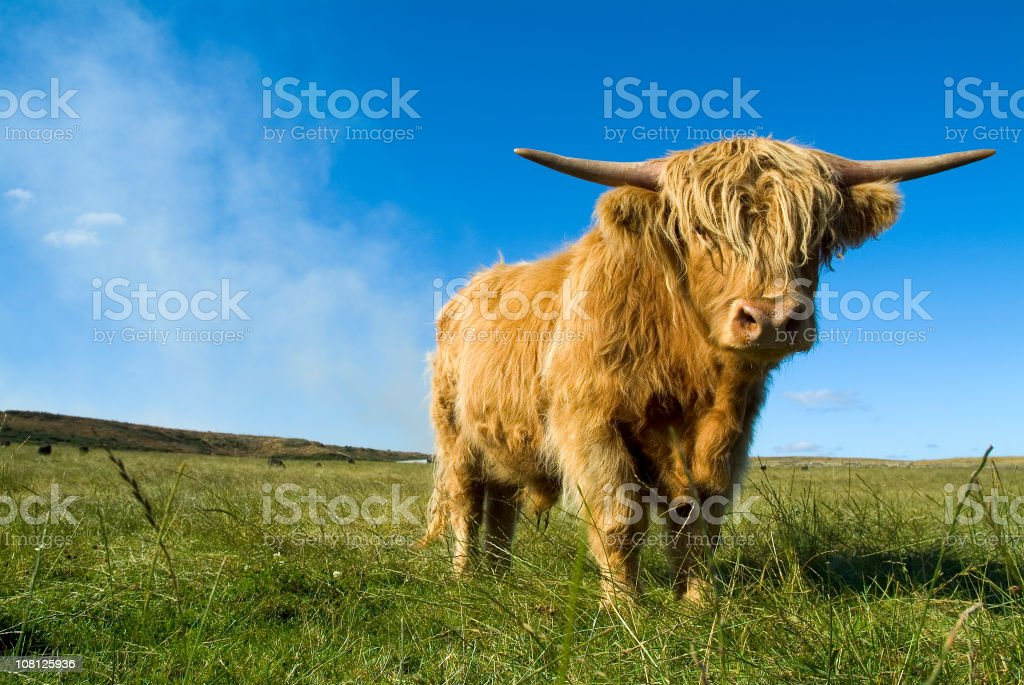 Highland Cow Standing in Large Green Field and Blue Sky royalty-free stock photo