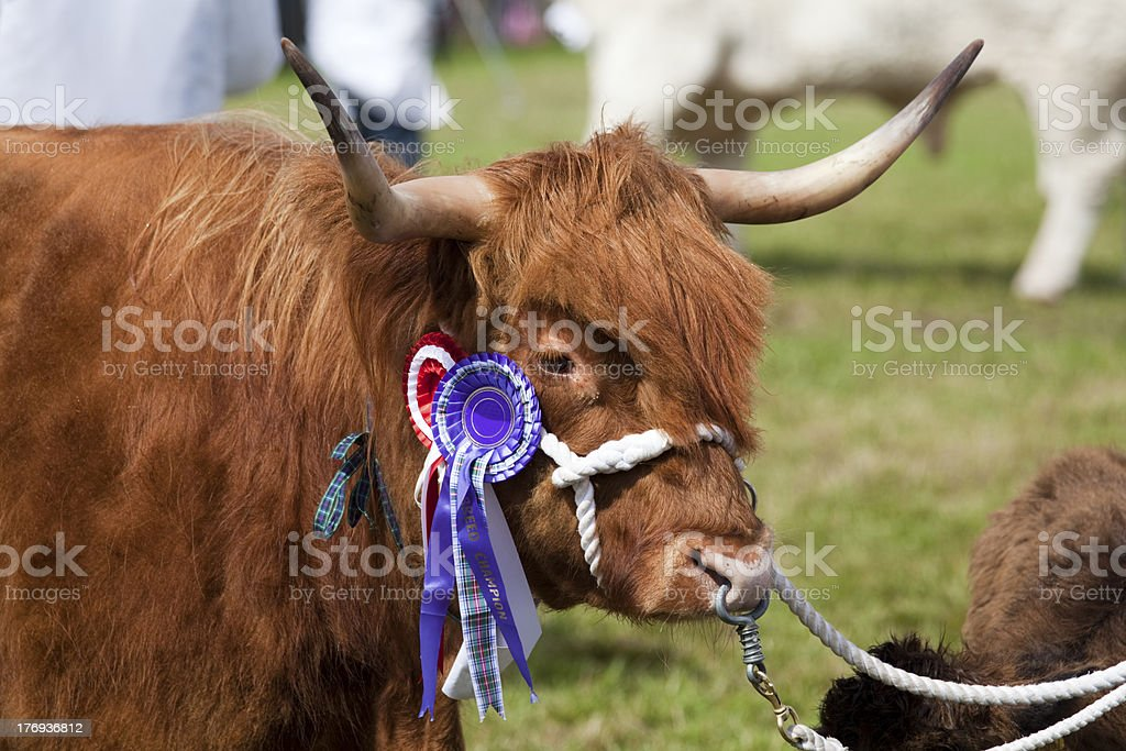 Highland Cow with Breed Champion Rosette royalty-free stock photo