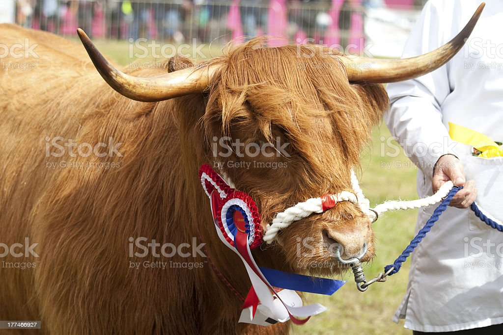 Highland Cow with Champion Rosette royalty-free stock photo