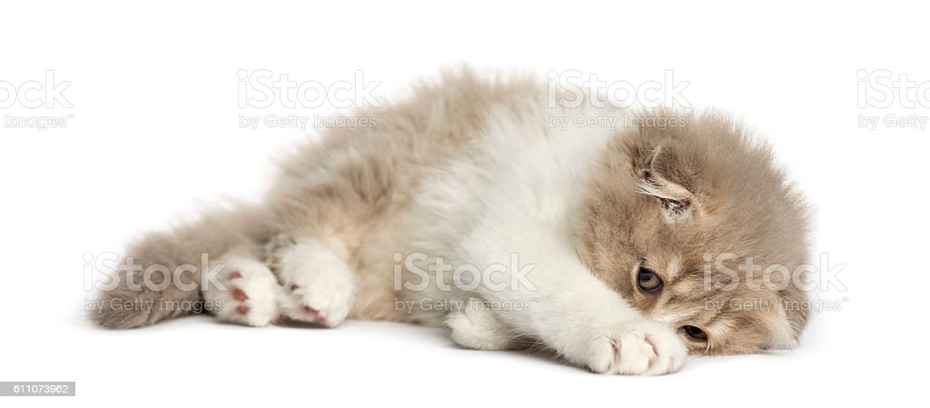 Highland Fold kitten lying on his side isolated on white stock photo