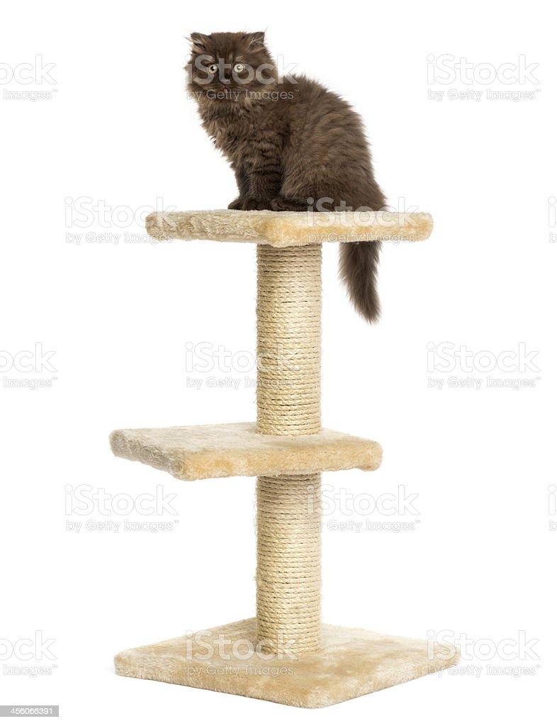 Highland fold kitten sitting on a cat tree, isolated stock photo