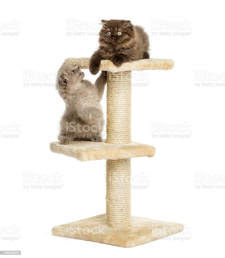 Highland fold kittens playing on a cat tree, isolated stock photo