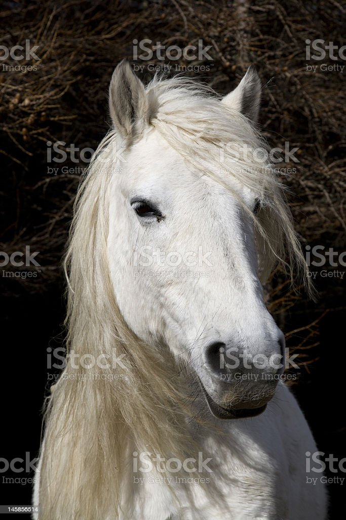 Highland Pony royalty-free stock photo