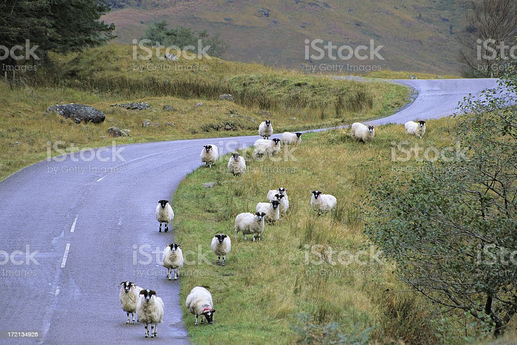 Highland Sheep royalty-free stock photo