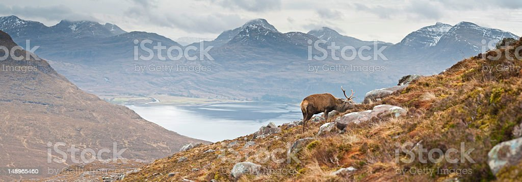 Highland stag in Scottish wilderness stock photo