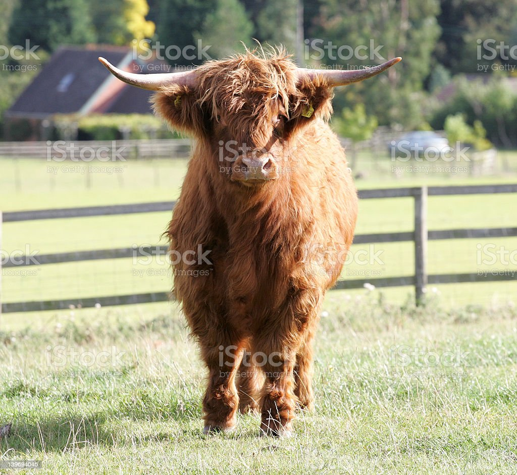 Highland Steer in Field royalty-free stock photo