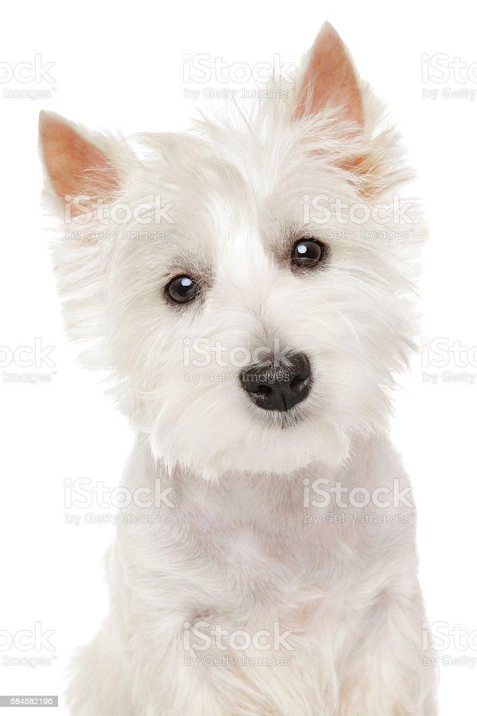 Highland Terrier (westie) on white background stock photo