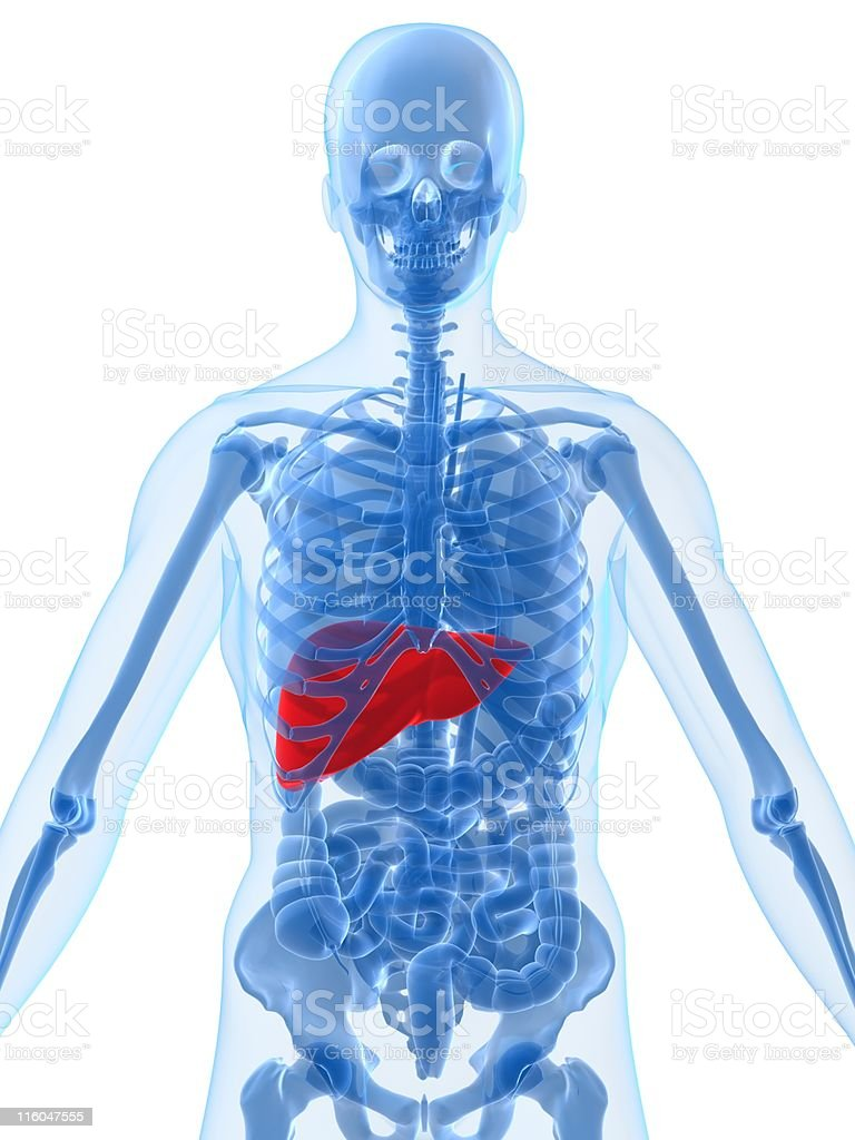 highlighted liver royalty-free stock photo