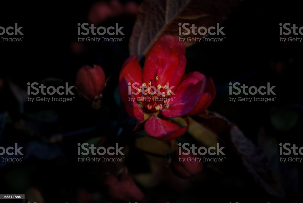Highlighted Red Apple Blossom stock photo