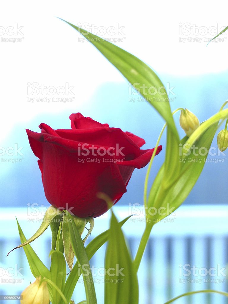 Highly Saturated Rose royalty-free stock photo