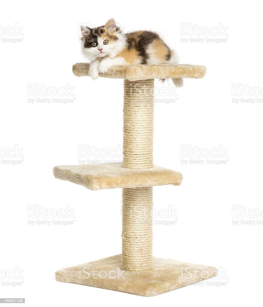 Higland straight kitten on a cat tree, isolated stock photo