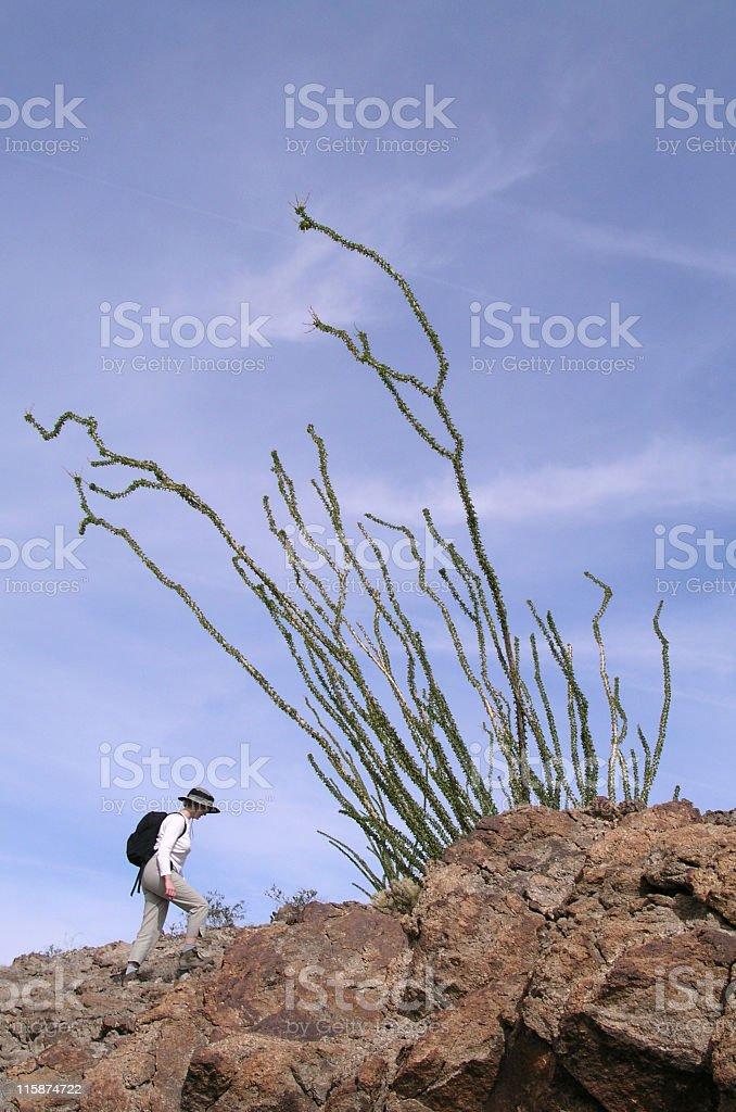 Hiker and Ocotillo royalty-free stock photo