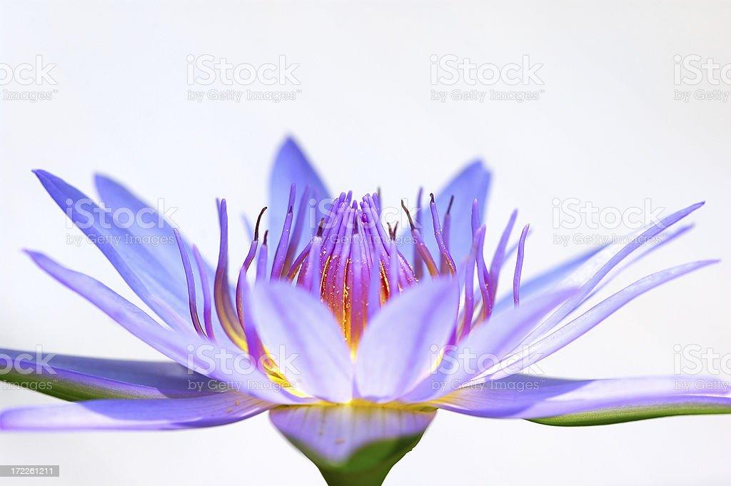 Hi-key lotus royalty-free stock photo