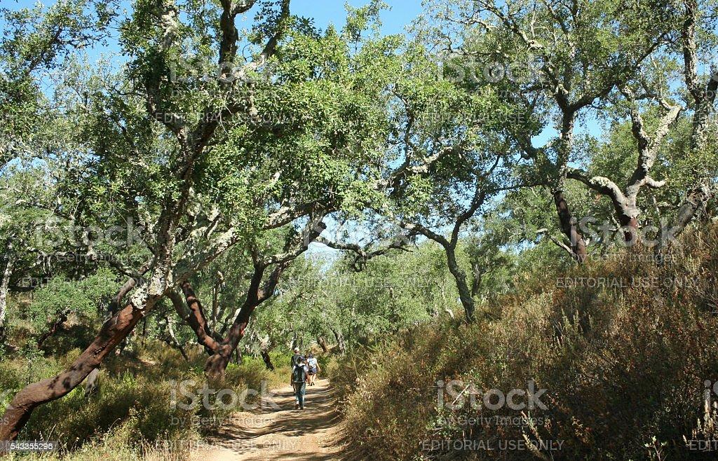 Hiking in a cork oak forest in Portugal stock photo