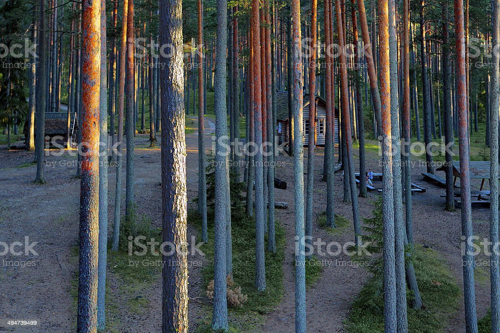 hiking in pine forest stock photo
