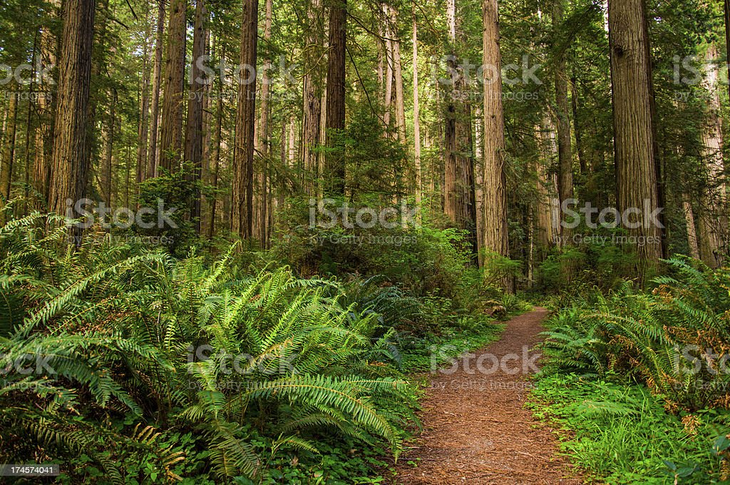 Hiking Path in Redwood Forest stock photo