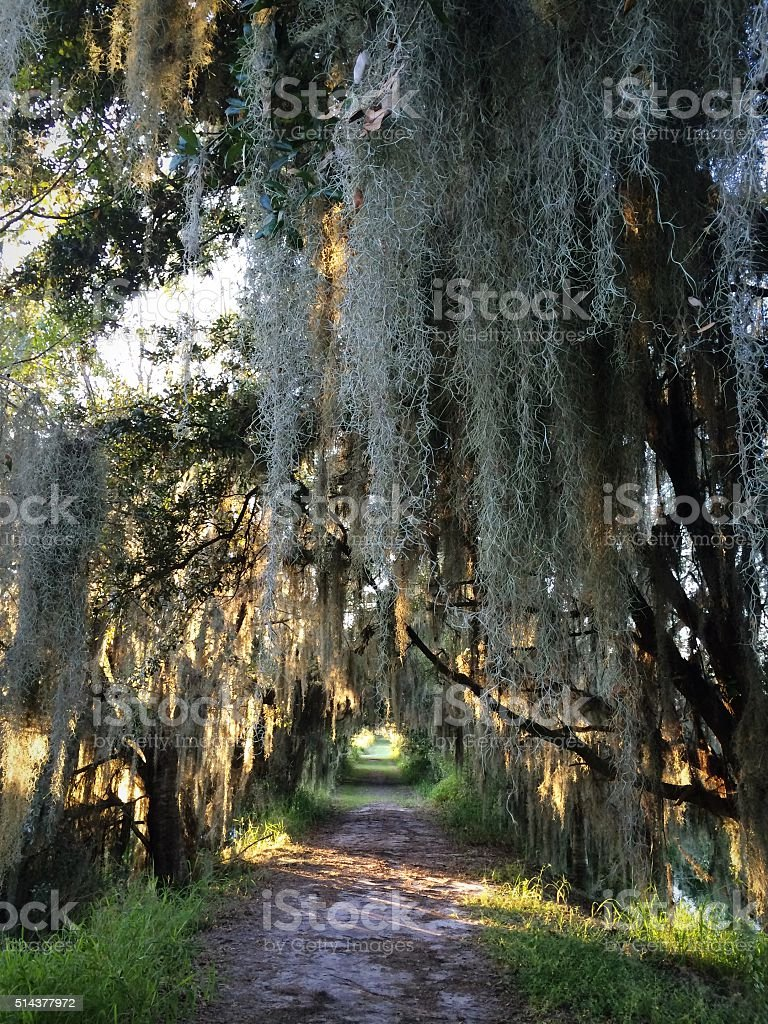 Hiking path with Spanish moss stock photo