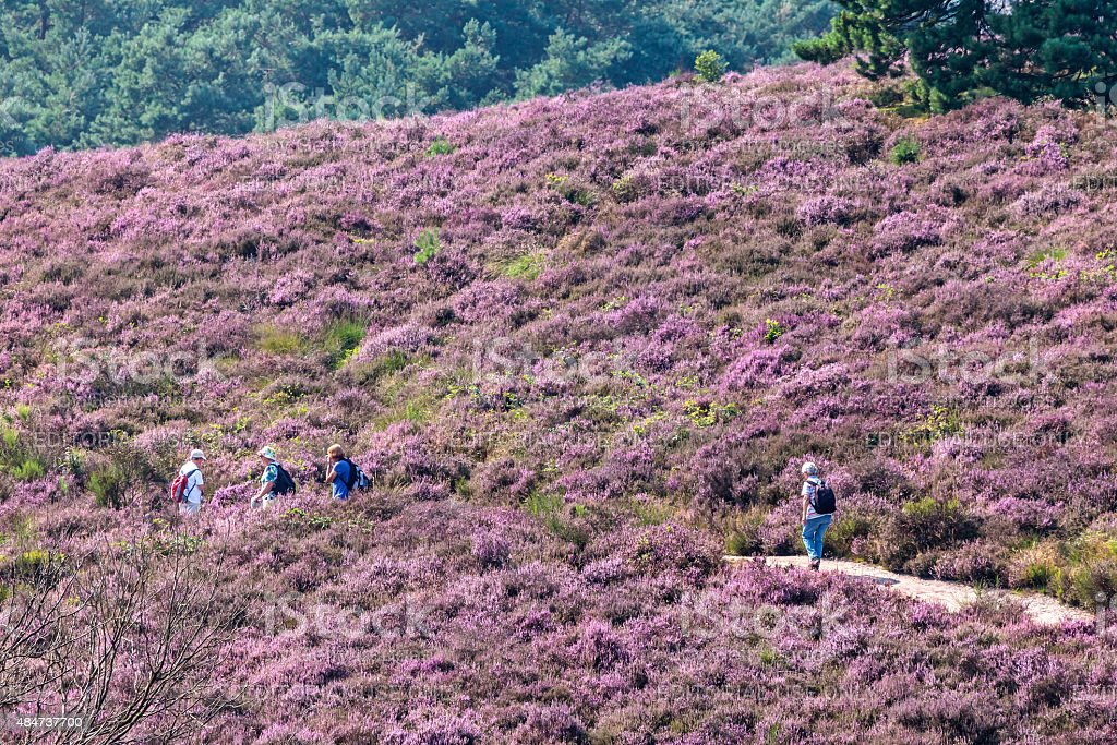 Hiking tourists on a hill with blooming heath stock photo