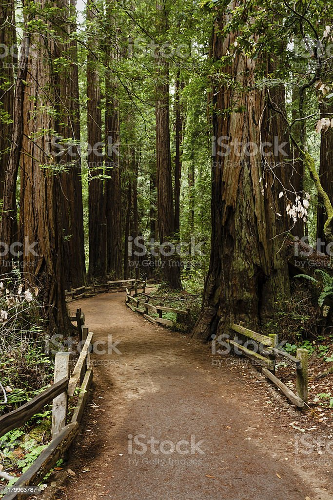 Hiking trail leads through thick group of coastal redwood trees royalty-free stock photo