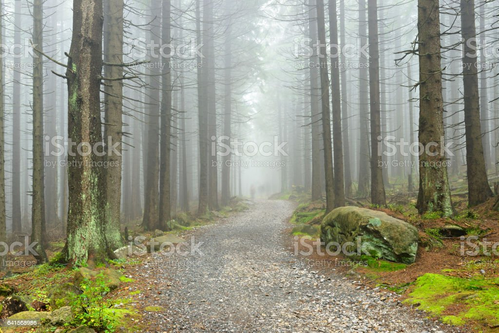 Hiking Trail through Natural Foggy Spruce Tree Forest stock photo
