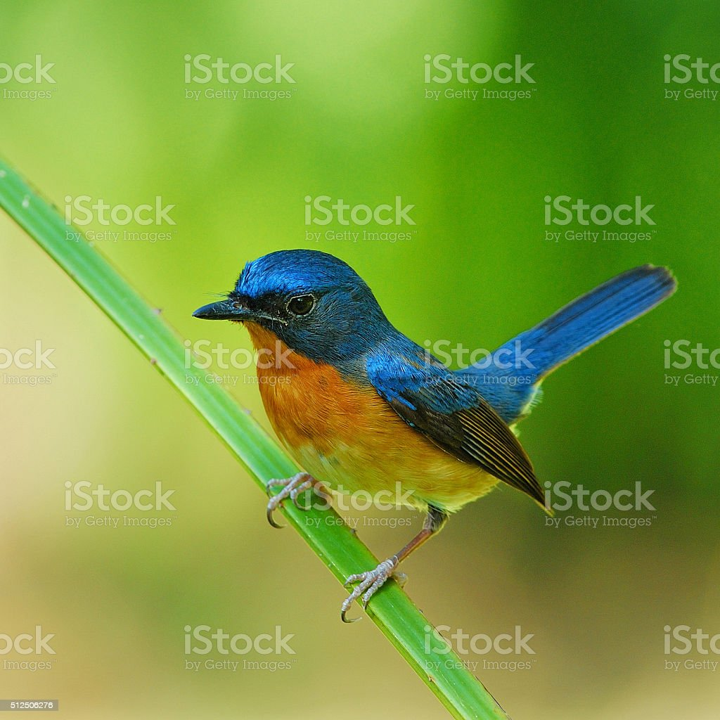 Hill Blue Flycatcher stock photo