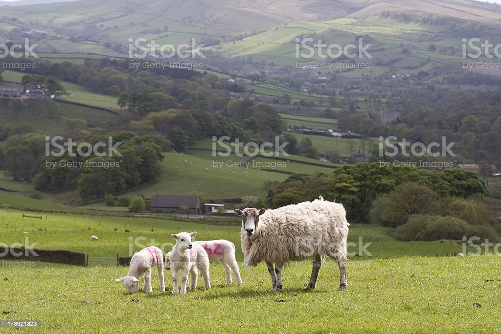 Hill farm, sheep and lambs stock photo