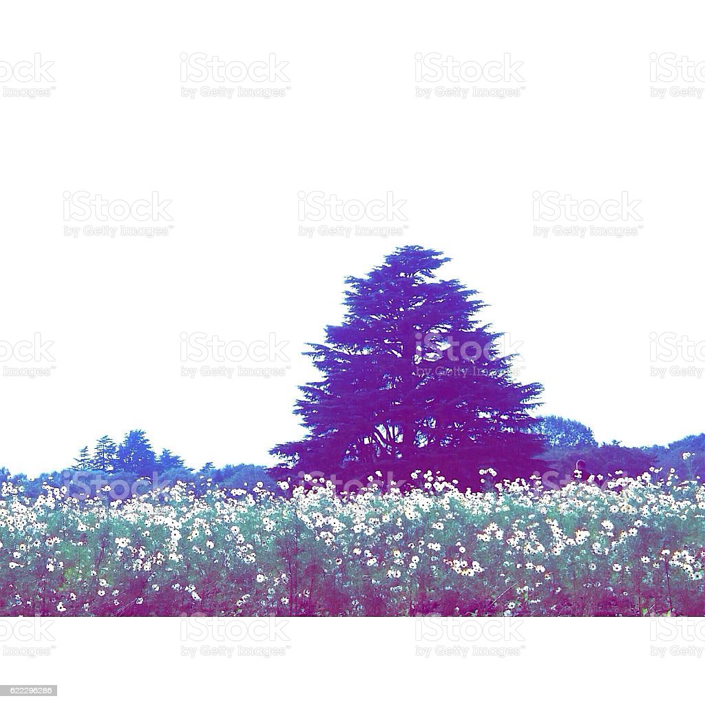 Hill of cosmos royalty-free stock photo