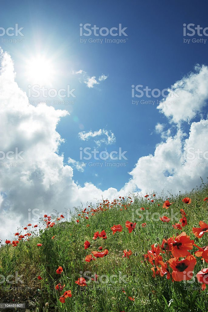 Hill of poppies royalty-free stock photo