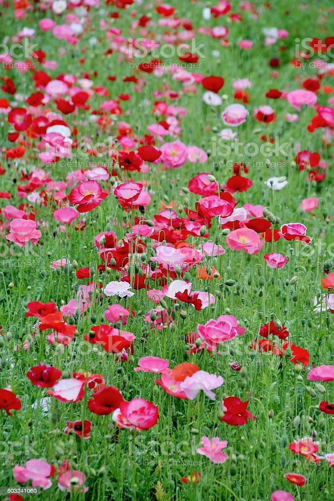 Hill of poppy field stock photo