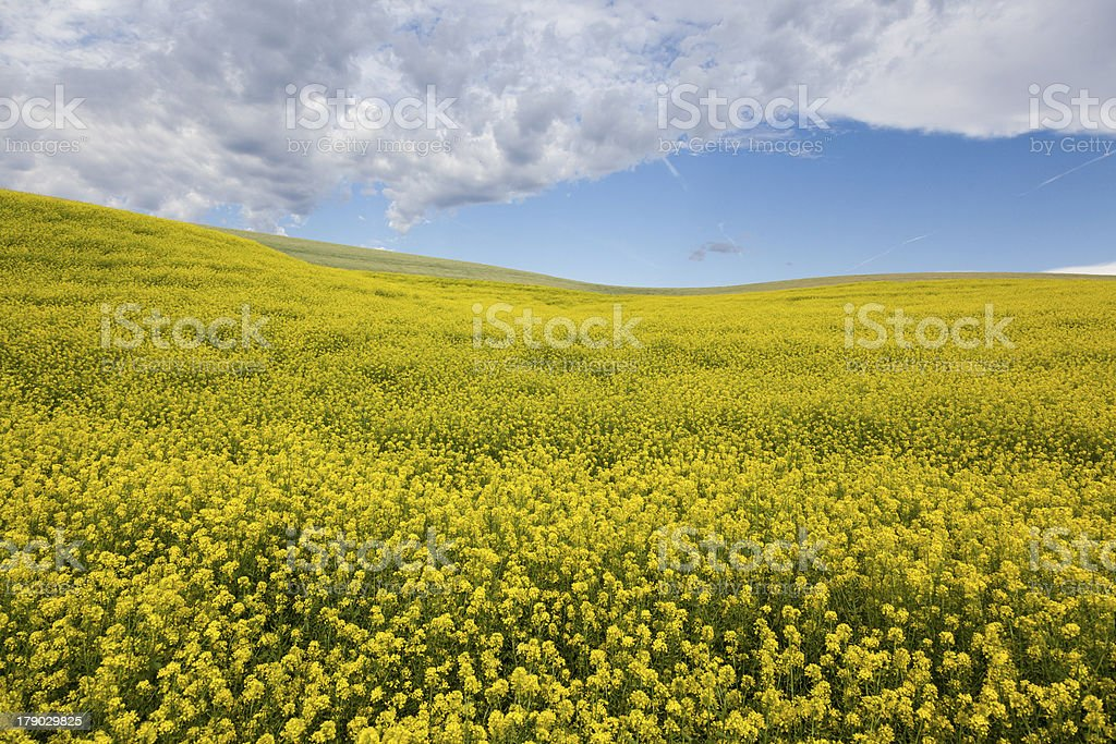 Hill of Yellow Flowers royalty-free stock photo