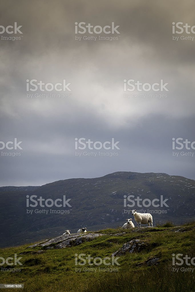 Hill sheep near the cloudline royalty-free stock photo