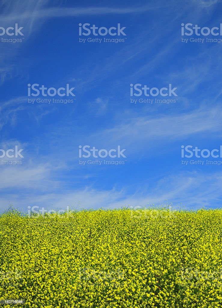 Hill top covered with Mustard Plants stock photo
