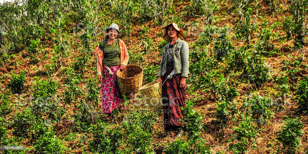 Hill tribe women are collecting the crops from the field stock photo